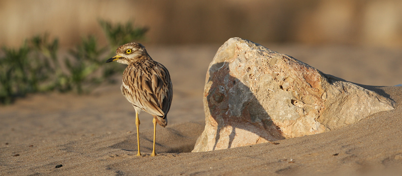 Stone Curlew and its shadow