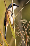 Title: Long-tailed Shrike