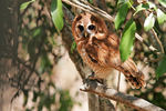 Title: African Wood Owl