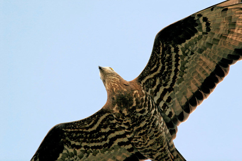 Honey Buzzard on migration