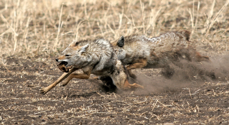 Common or Golden Jackal