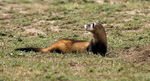 Title: Steppe Polecat Camera: Canon EOS10D