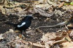 Title: Seychelles Magpie-Robin