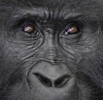 Title: Mountain Gorilla