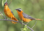 Title: White-browed Robin-Chat