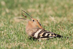 Title: Hoopoe Camera: Canon 7D
