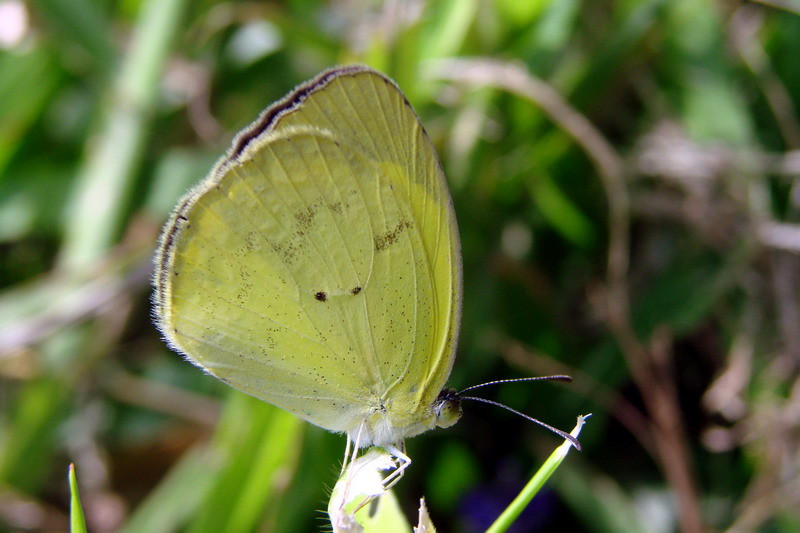 Common Yellow