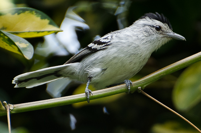 Large-billed Antwren