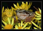 Title: Common Frog