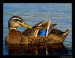 Title: Mallard Wing Bar.
