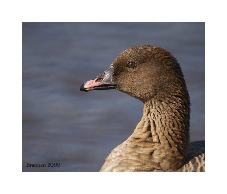 Pink_Footed Goose