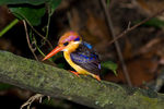 Title: black-backed kingfisher