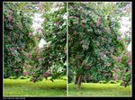 Title: cercis chinensis