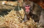 Title: Japanese Macaque...