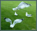 Title: Four Views of a Gull in Motion