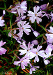 Title: Phlox of the Cascades
