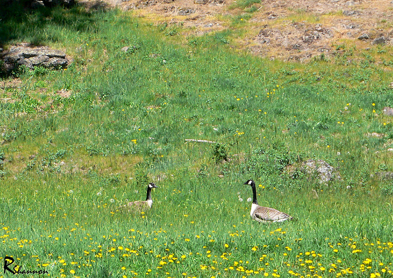 Geese in the Meadows
