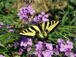 Title: Swallowtail for 'Brother' Sumon