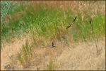 Title: Swallows at Play