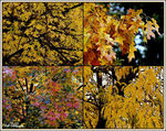 Title: Four Trees Four Seasons - Autumn