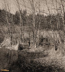 Title: Aspen/ Lake in Sepia