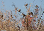 Title: Sparrows in Brush