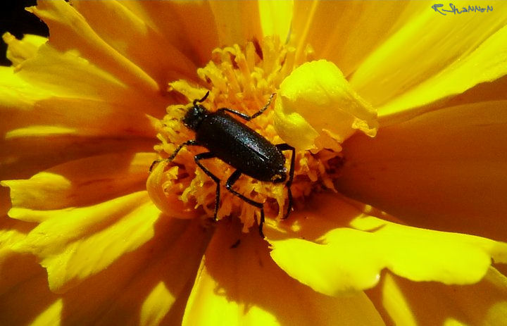 Black Blister Beetle for Janice Smith