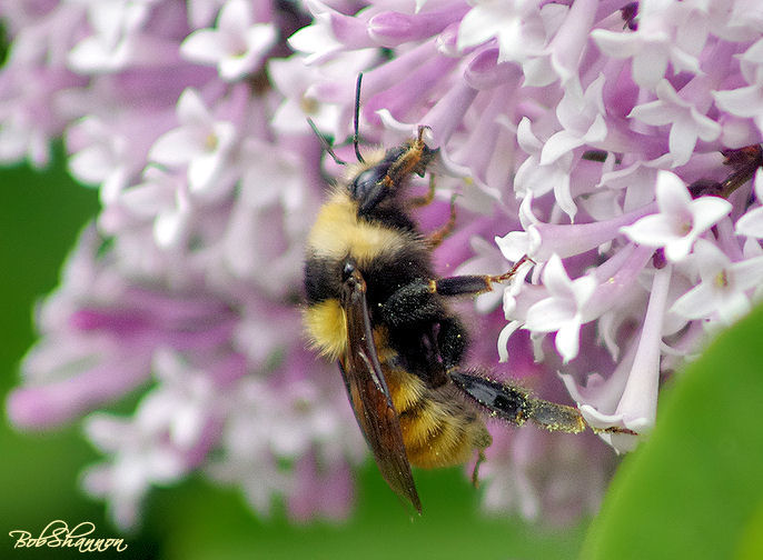 Bumble for Pollen