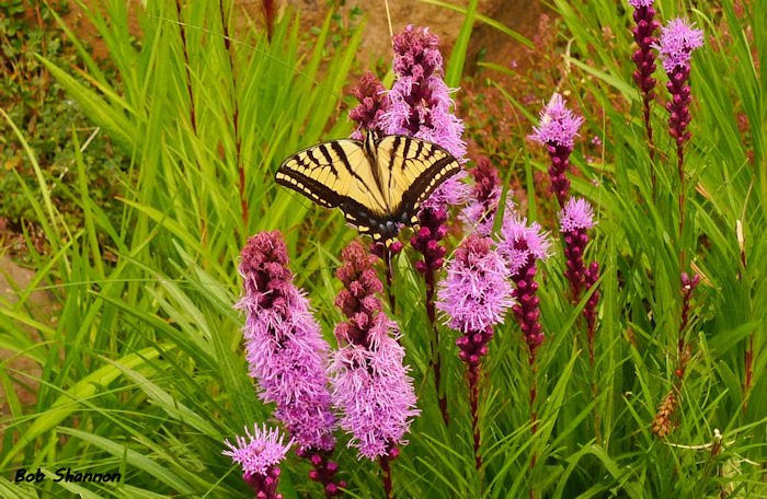 Swallowtail and Flora