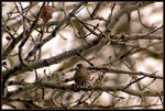Title: Female Finch on the Palouse