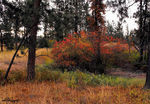 Title: Red Pines