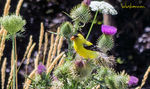 Title: Male Goldfinch
