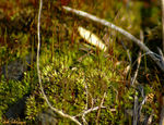 Title: Lichen Moss for Ulla