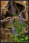 Title: Lupines and Roots