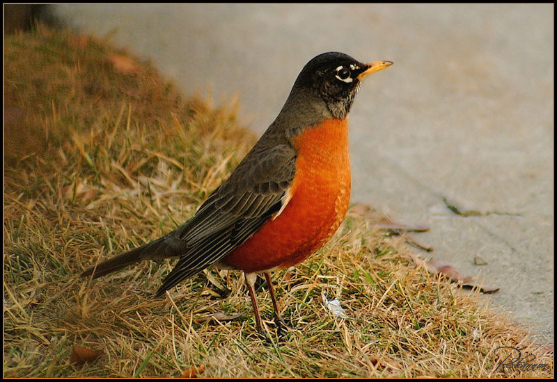 American Robin Post #300
