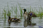 Title: Mallards at Play