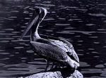Title: Pelican-First and Last