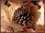 Title: Lodge Pole Pinecone