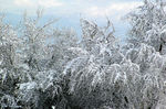 Title: Snow on Willows