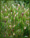 Title: Spring Grasses