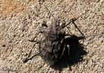 Title: Brown Stink Bug