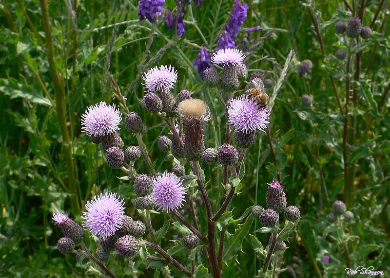 Thistle W/Bee Chaser
