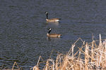 Title: Twin Geese