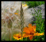 Title: Tragopogon Dubious etc..