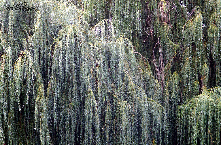 90 foot Weeping Willow
