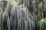 Title: 90 foot Weeping Willow
