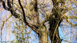 Title: Weeping Willow in Spring