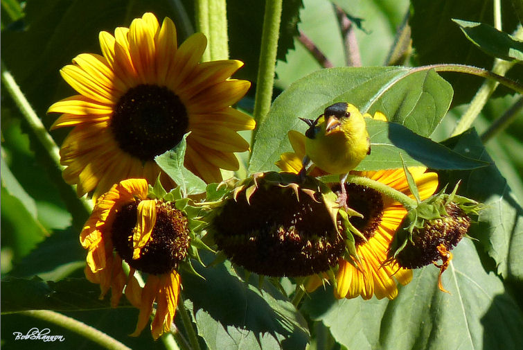 GoldFinch on Sunflowerss