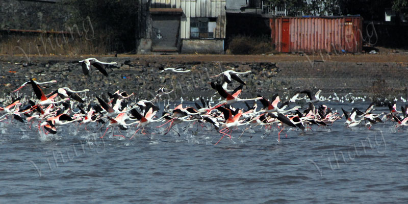 Flamingoes about to fly..