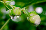 Title: Karvy buds and droplets..